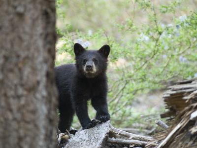 American Black Bear (Ursus Americanus) First Year Cub