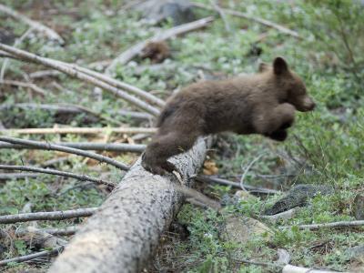 American Black Bear (Ursus Americanus) First Year Cub Jumps Off a Log