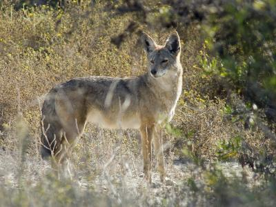 Coyote (Canis Latrans) in the Los Cerritos Wetlands