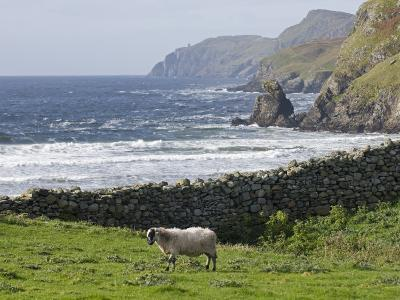 Rock Wall and a Scottish Blackface Sheep Along the Coast