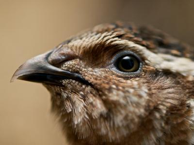 Close Up Image of the Head of a Common Quail