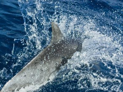 Bottlenose Dolphin Ploughs Through the Warm Waters of the Coral Sea