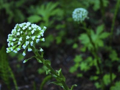 White Flowers in Muir Woods National Monument, California