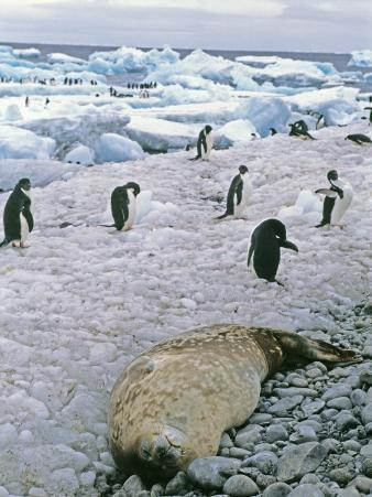Adelie Penguins and a Sleeping Weddell Seal on a Rocky Beach