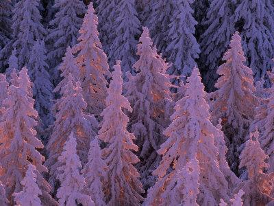 Snow Blanketed Fir Trees in Germany's Black Forest at Sunrise