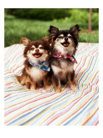 Chihuahuas on Blanket