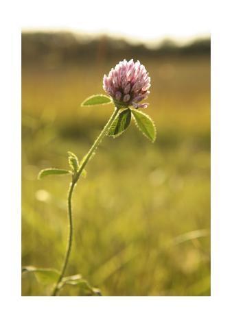 Clover Flower in Field