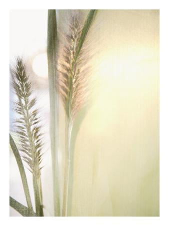 Foxtail Grass and Sun