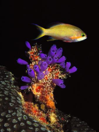 Bluebell Tunicate and Anthias Fish in the Sea