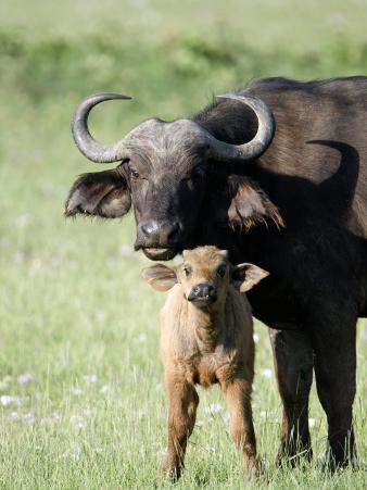 Cape Buffalo with its Calf in a Field, Lake Nakuru National Park, Kenya