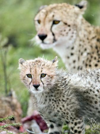 Cheetah Cub and its Mother Eating a Dead Animal, Ndutu, Ngorongoro, Tanzania