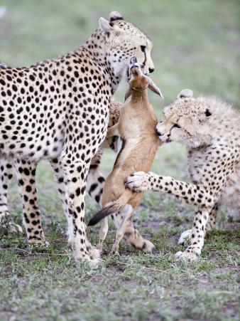 Cheetah Cubs Eating a Dead Thomson's Gazelle, Ndutu, Ngorongoro, Tanzania
