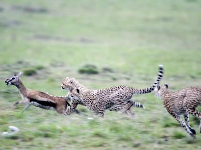 Cheetahs Chasing a Thomson's Gazelle, Masai Mara National Reserve, Kenya