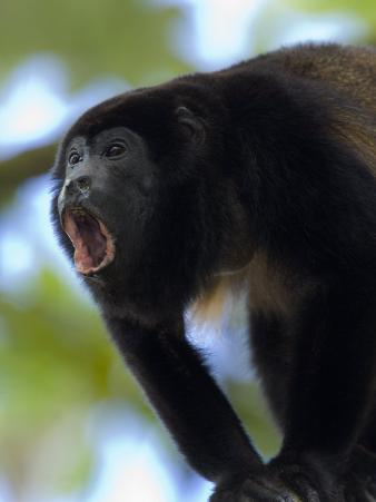 Close-Up of a Black Howler Monkey, Costa Rica