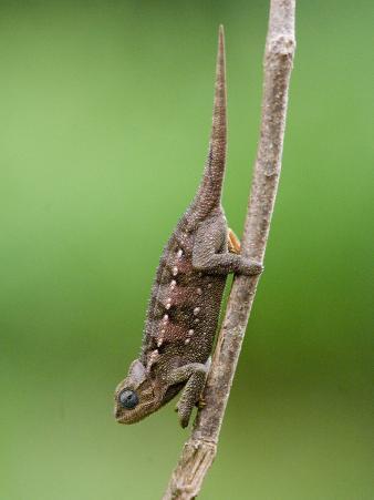 Close-Up of a Dwarf Chameleon, Crater Highlands, Tanzania