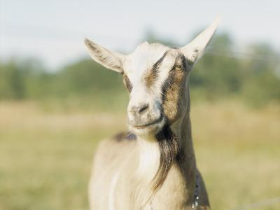 Close-Up of a Goat, Goat Cheese Farm, Vancouver, Washington