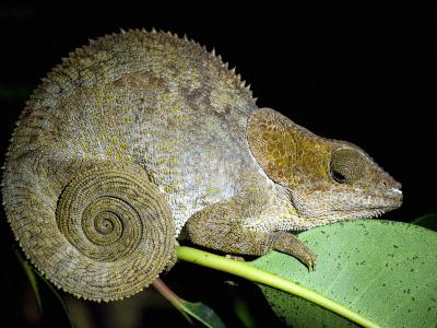Close-Up of a Madagascan Chameleon, Madagascar