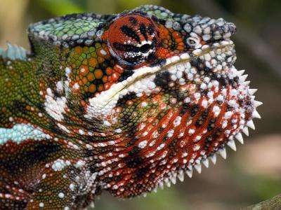Close-Up of a Panther Chameleon, Andasibe-Mantadia National Park, Madagascar