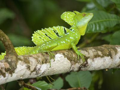 Close-Up of a Plumed Basilisk on a Branch, Costa Rica