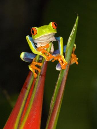 Close-Up of a Red-Eyed Tree Frog Sitting on a Heliconia Flower, Costa Rica