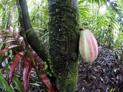 Cocoa Tree in a Rainforest, Costa Rica