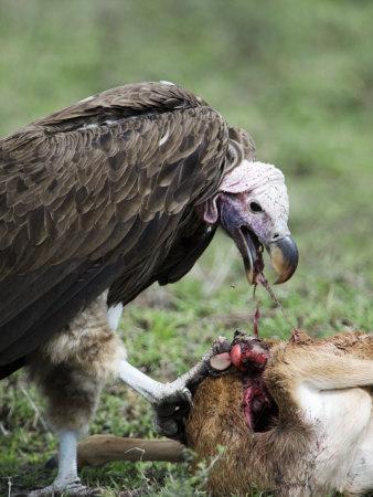 Lappet-Faced Vulture Eating a Wildebeest Calf, Masai Mara National Reserve, Kenya
