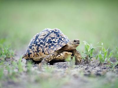 Leopard Tortoise Moving Slowly in a Field, Tarangire National Park, Tanzania