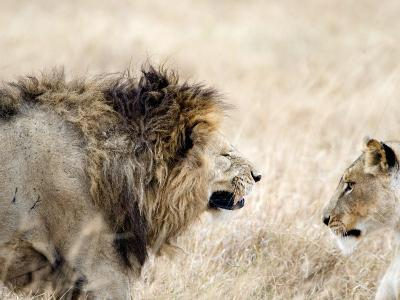 Lion and a Lioness in a Mating Ritual, Ngorongoro Crater, Ngorongoro, Tanzania