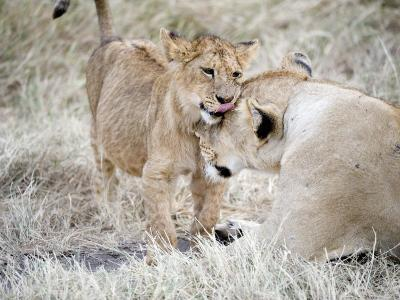 Lion Cub Playing with its Mother in a Forest, Ngorongoro Crater, Ngorongoro, Tanzania