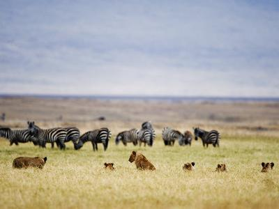 Lion Family Looking at a Herd of Zebras in a Field, Ngorongoro Crater, Ngorongoro, Tanzania
