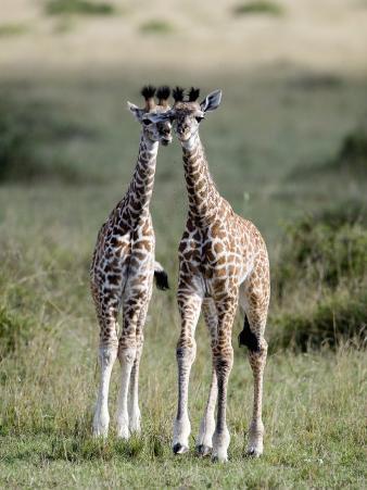 Masai Giraffes in a Forest, Masai Mara National Reserve, Kenya