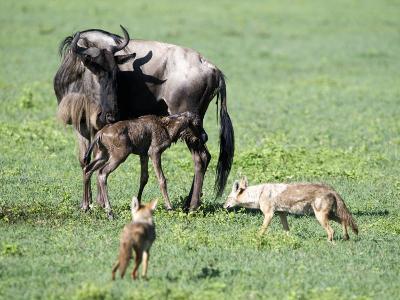 Newborn Wildebeest Calf and Mother with Hunting Golden Jackals, Ngorongoro Crater, Tanzania