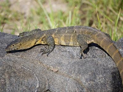 Nile Monitor Lizard on a Rock, Tarangire National Park, Tanzania
