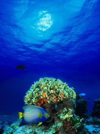 Queen Angelfish and Blue Chromis with Black Durgon in the Sea