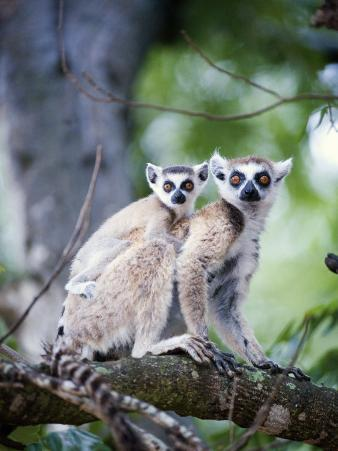 Ring-Tailed Lemur with its Young One, Berenty, Madagascar