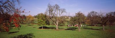 Apple Trees in an Orchard During Harvest, Baden-Wurttemberg, Germany