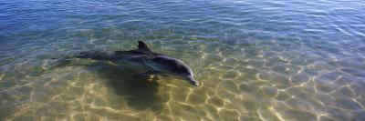 Bottle-Nosed Dolphin in Sea, Monkey Mia, Shark Bay Marine Park, Perth, Western Australia, Australia