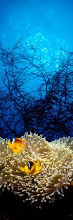 Mat Anemone and Allard's Anemonefish in the Ocean