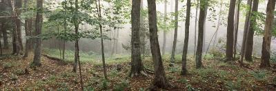 Trees in a Forest, Old Forge, Adirondack Mountains, Herkimer County, New York State, USA