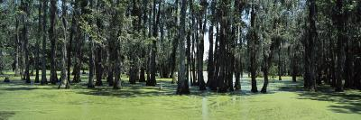 Trees in Swamp, Magnolia Plantation and Gardens, Charleston, Charleston County, South Carolina, USA