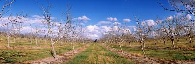 Walnut Orchard, Central Valley, California, USA