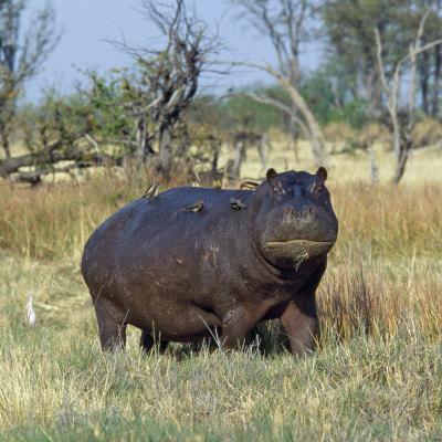 Hippo, with Red-Billed Oxpeckers (Tick Birds), Grazes, Okavango Swamp Edge, Moremi Wildlife Reserve
