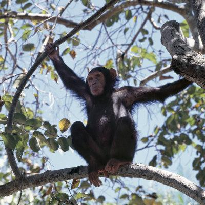 Chimpanzee Sitting in the Forest Canopy, Mahale Mountains, Eastern Shores of Lake Tanganyika