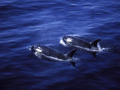 Pair of Killer Whales in the Indian Ocean