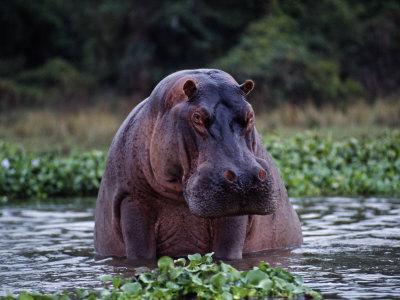 Zambezi River, Hippos Sitting in the Zambezi River, Zambia