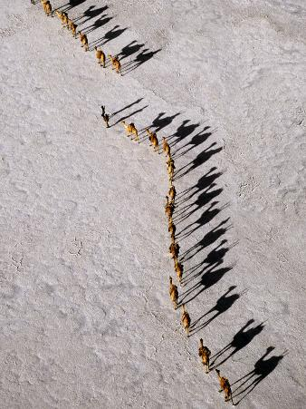 Afar Camel Caravan Crossing the Salt Flats of Lake Assal, Djibouti as Shadows Lengthen in the Late