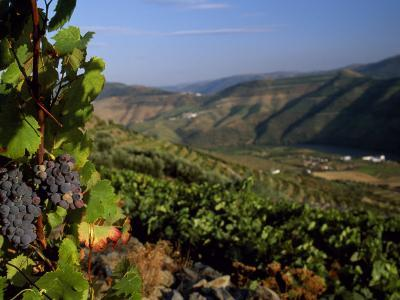 Grapes and Vines in the Douro Valley Above Pinhao