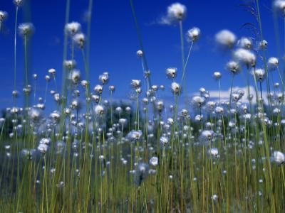 Cotton Grass, Susitna River, Alaska, USA