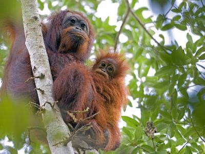 Wild Orangutans in Arboral Settings in Rainforest Near Sepilok, Borneo