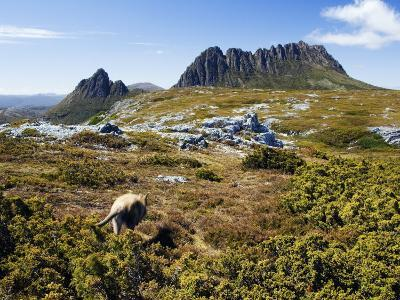 Tasmania, Peaks of Cradle Mountain and Wallaby Running Through Bush on Overland Track, Australia